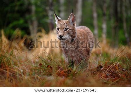 Hunting Eurasian Lynx in green forest - stock photo