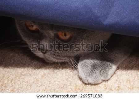 Hunting gray british cat close up - stock photo