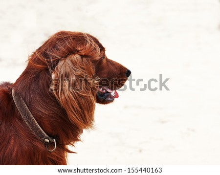 Hunting irish setter. Autumn hunting. - stock photo