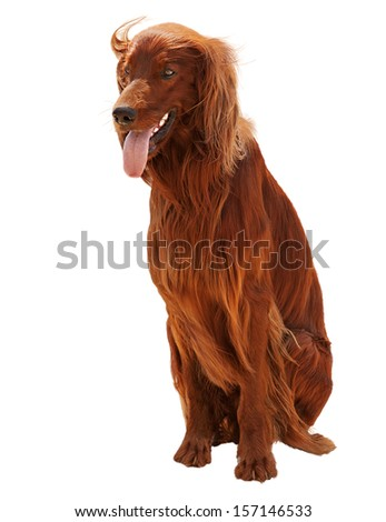 Hunting irish setter sitting isolated on white background. Closeup. - stock photo