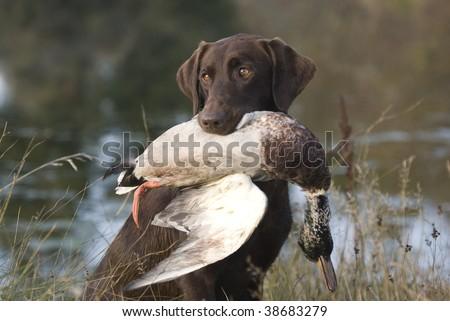 Hunting Labrador Retriever - stock photo