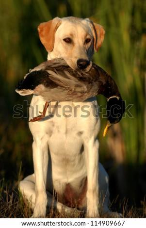 Hunting Labrador Retriever dog - stock photo