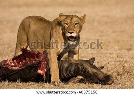hunting lion - stock photo