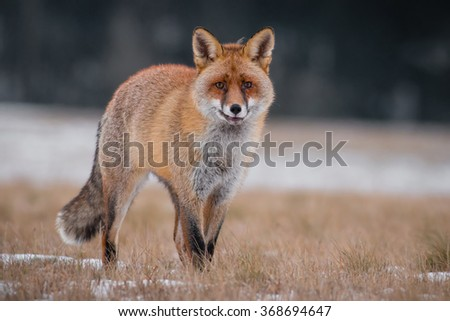 Hunting Red Fox (Vulpes vulpes) in the winter. - stock photo