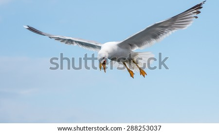 Hunting seagull in flight in the sky with opened beak - stock photo