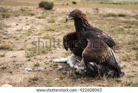 Hunting with golden eagles (Aquila chrysaetos) is a tradition in Central Asia. Eagles are taken from the nest after hatching and trained to hunt small wildlife. Bokonbayevo, Kyrgyzstan - 11/OCT/2014 - stock photo
