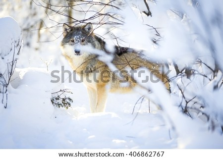 Hunting wolf with wild eyes walking in beautiful winter forest - stock photo