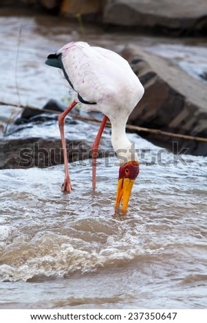 Hunting Yellow-billed Stork. South Africa, Kruger's National Park. - stock photo