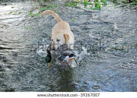 Hunting Yellow Labrador retriever - stock photo