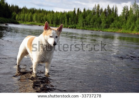 huntingdog, stands in the river - stock photo