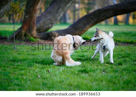 Husky and Labrador dogs fighting over a wooden stick in a summer park. Sunny day - stock photo