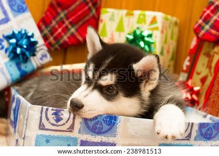 Husky chews box - stock photo