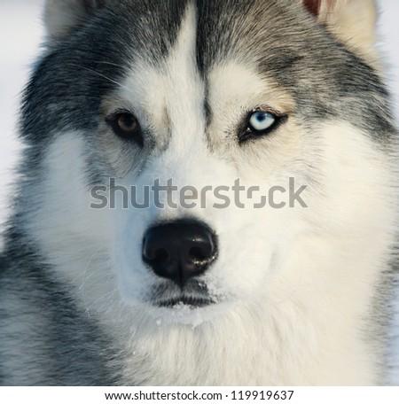 husky closeup - stock photo