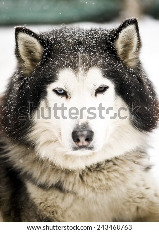 Husky dog in kennel - stock photo