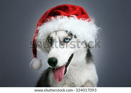 husky dog in red santa hat over gray background - stock photo