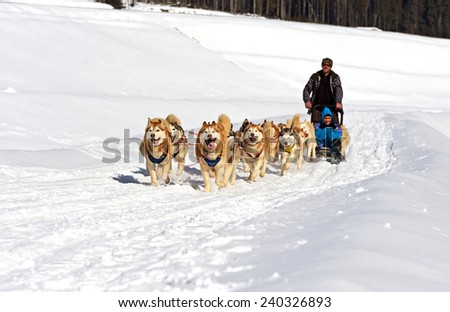 Husky dog in the sled run in the snow - stock photo