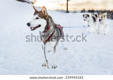 Husky dog ready for sledding in the cold winter - stock photo