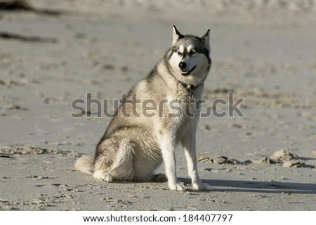 husky dog sitting on the beach - stock photo