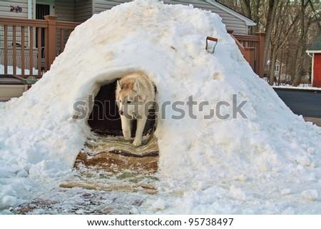 Husky in his Quincy Hut. - stock photo
