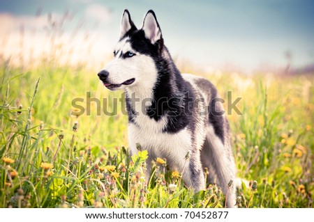 Husky in the middle of green grass - stock photo