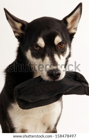 Husky Mix Dog holding his treat bag - stock photo