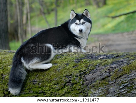 husky on the tree - stock photo