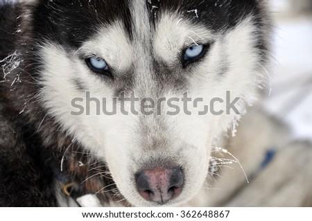 Husky portrait at winter - stock photo