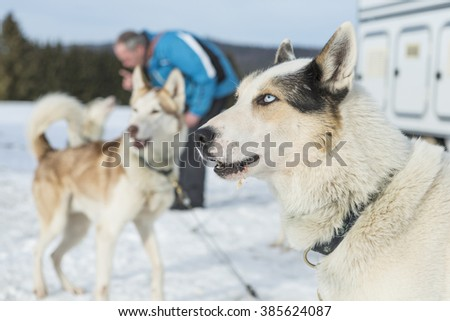 Husky portrait. Racing siberian husky dog lying in the snow after the races - stock photo