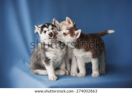 Husky puppies on a blue background - stock photo
