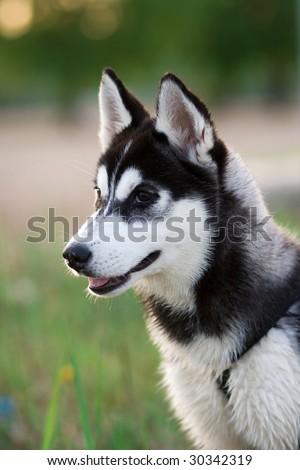 husky puppy - stock photo