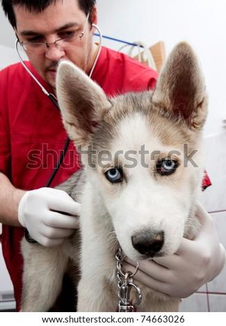 Husky puppy at vet - stock photo