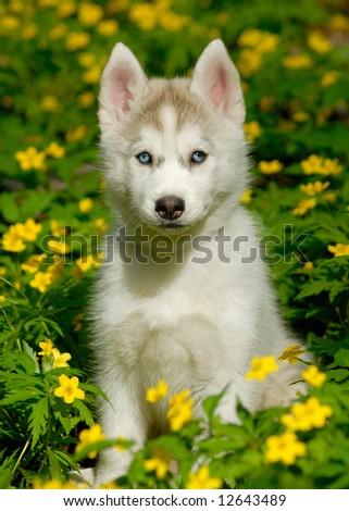 husky puppy in deep yellow flowers - stock photo