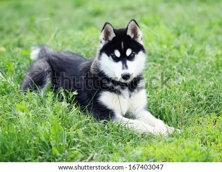 husky puppy lying on the grass - stock photo