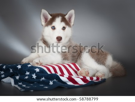 Husky puppy with a flag - stock photo