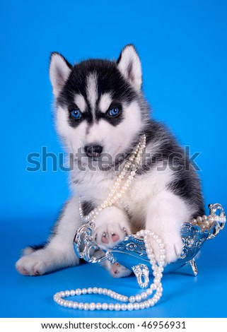 husky puppy with blue eyes - stock photo