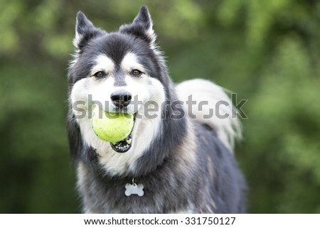 husky running in tall grass playing with a ball - stock photo