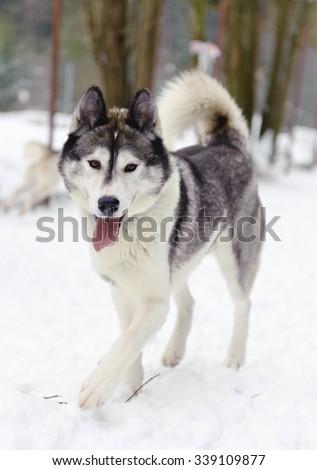 Husky running in winter - stock photo