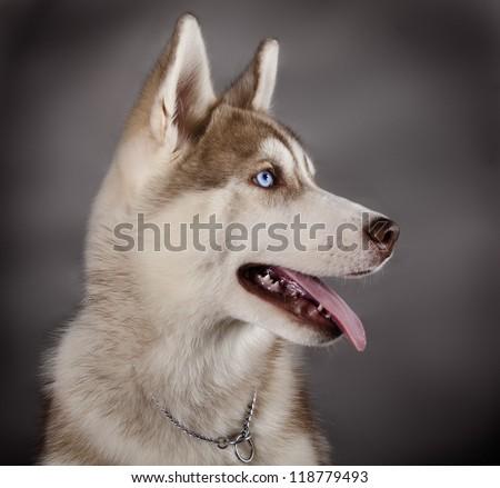 Husky sled dog breeds - stock photo