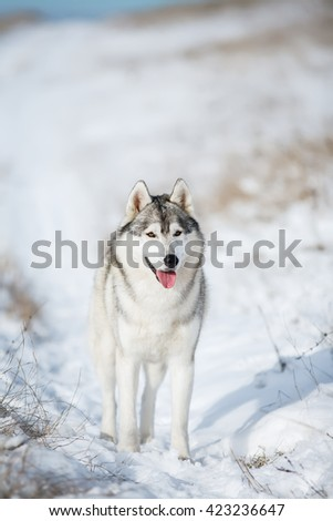 Husky standing in the snow - stock photo