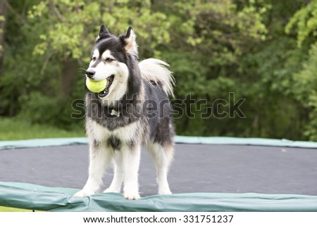 husky standing on a trampoline  - stock photo