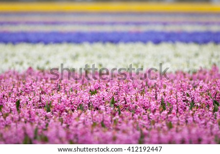 Hyacinth. Beautiful colorful pink, white, yellow and blue hyacinth flowers in spring garden, vibrant floral background, flower fields in Netherlands. - stock photo