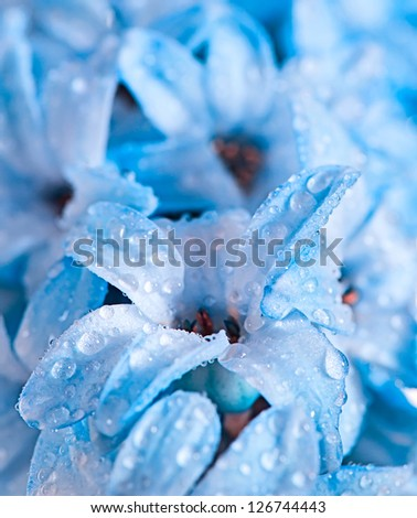 hyacinth blue flowers with water drops as wallpaper or background - stock photo
