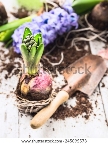 hyacinth bulbs with roots, soil  and old  shovel  on white wooden garden table, spring gardening - stock photo