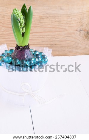 Hyacinth flower buds in a white pot - stock photo