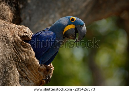 Hyacinth Macaw, Anodorhynchus hyacinthinus, in tree nest cavity, Pantanal, Brazil, South America - stock photo
