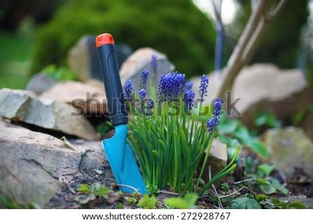 Hyacinth, spring flower. Blue hyacinth flowers bloom in spring spot of gardening  - stock photo