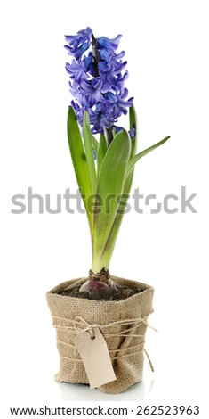 Hyacinth spring flowers isolated on white - stock photo
