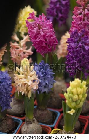 Hyacinths  - stock photo