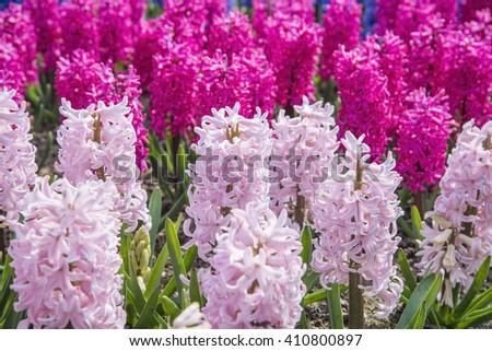 hyacinths grow in the garden  - stock photo
