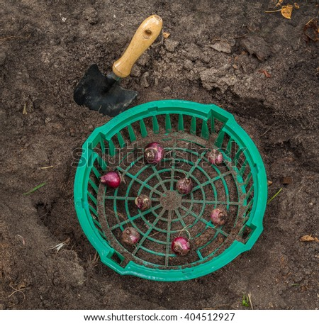 Hyacinths in a basket for planting bulbs in the ground - stock photo